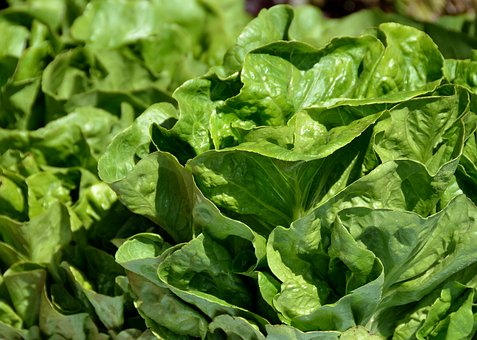 Lettuce, Fresh, Food, Healthy, Vegetable, Organic