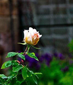 Rose, Plant, Nature, Petals, Garden Plant