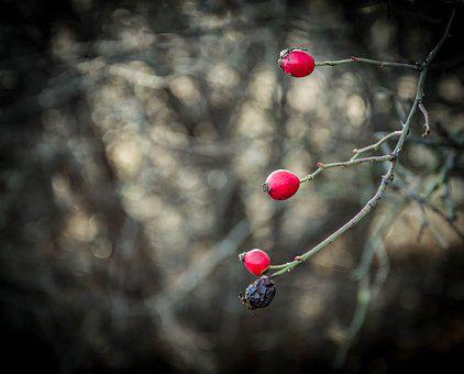 Red, Berry, Rosehips, Plant, Bush, Crop, Ripe Berry