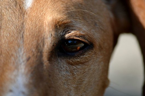Galgo Espaniol, Spanish, Greyhound