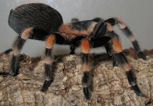 Tarantula, Brachypelma Smith, Terrarium