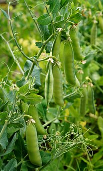 Peas, Garden, Pods, Beds, The Cultivation Of