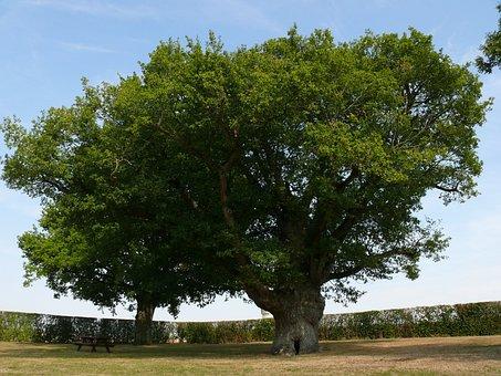 Big Oak, Tree, Summer