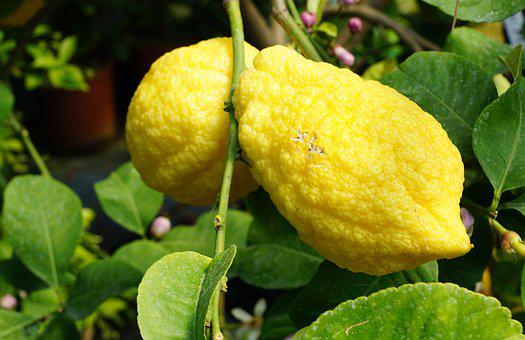 Lemon Tree, Tree, Italy, Summer, Garden, Sour, Juice