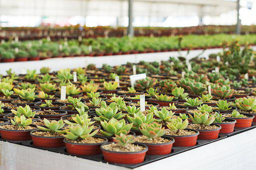 A Fleshy Plant, Cactus, Flowers