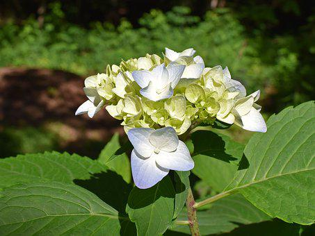 Blue And Yellow Hydrangea, Hydrangea, Blossoms, Flower