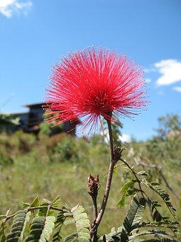 Caliandra, Cerrado, Flower, Nature, Brazilian Cerrado