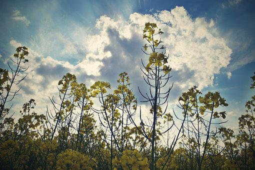 Rape, Field, Summer, Landscape, Clouds, Nature, Sky