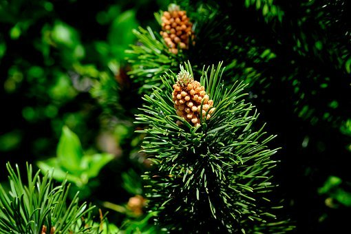 Pine Cones, Spruce, Conifer, Forest, Nature, Brown