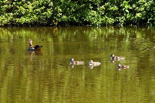 Duck, Mamma, Family, Water, Waterfowl, Chicks, Nature
