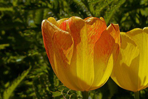 Tulip, Yellow, Red, Red Border, Flower, Structure