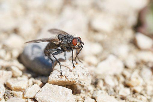 Fly, Insect, Macro, Wing, Close, Compound Eyes, Nature