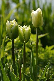 Garden, Green, Water, Pond, Tulip, Spring, Grządka