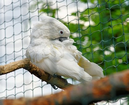 Bird, Cockatoo, White, Plumage, Parrot, Grid