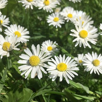Chamomile, Camomile, Weed, Flo, Flower, Herbal, Daisy