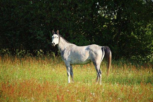 Mold, Horse, Thoroughbred Arabian, Nature, Pasture