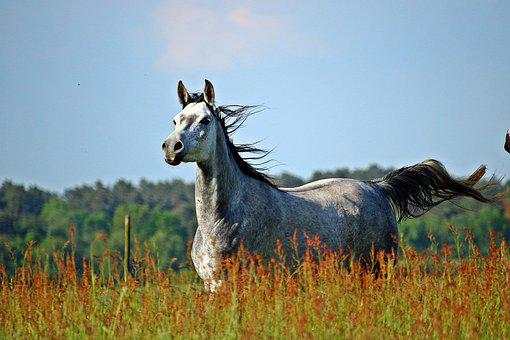 Horse, Meadow, Mold, Thoroughbred Arabian, Coupling