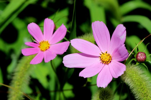 Cosmos, Plants, Nature, Forest, Flowers, Landscape