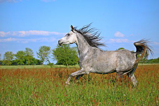 Horse, Mold, Thoroughbred Arabian, Gallop, Pasture