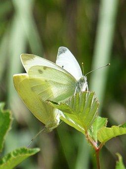 Butterfly, Blanqueta Cabbage, Pieris Rapae, Leaf