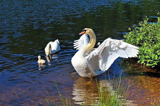 Swan, Swan Family, Fish Pond, Pond, Waters, Lake, Water