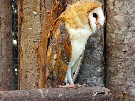 Owl, Scares, Lady-white, Tylo Alba, Strigiformes