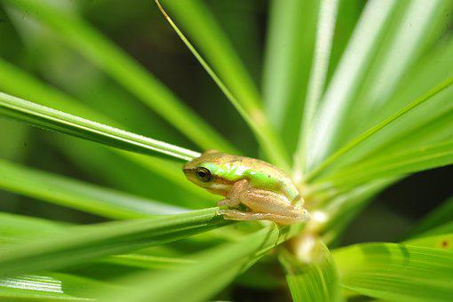 Green Tree Frog, Small Green Frog In Palm Frond