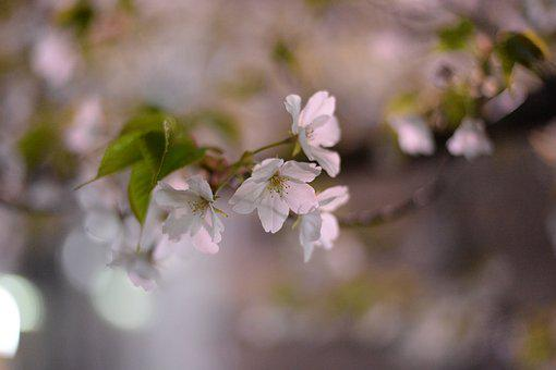 Cherry Blossoms, Japan, Spring In Japan, Pink