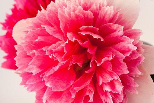 Pentecost, Peony, Nature, Spring, Blossom, Bloom