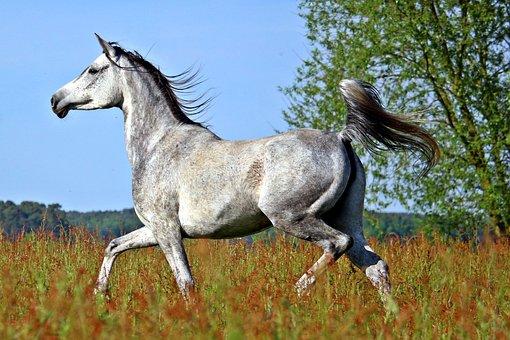 Horse, Mold, Thoroughbred Arabian, Trot, Meadow