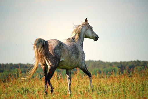 Horse, Trot, Thoroughbred Arabian, Mold, Pasture, Grass