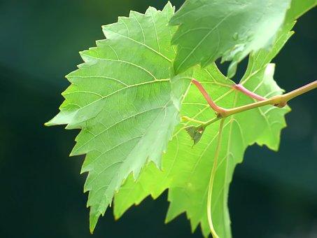 Grapes, Vegetation, Green, White, Sheet, Background