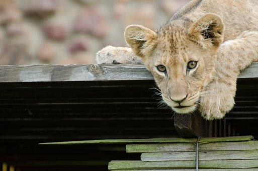Lion, Lion Cub, Animal, Wild Animal, Africa, Wildcat