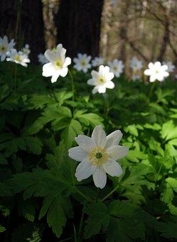 Anemone, Ranunculaceae, Flower, White, Flowers