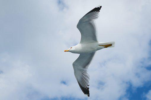 Seagull, Bird, Wing, Blue, Nature, Clouds, Animal, Sky