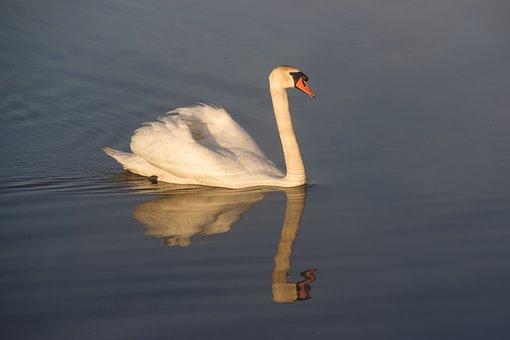 Animal, Mute Swan, Swan, Bird, Swim, Water Bird, Lake