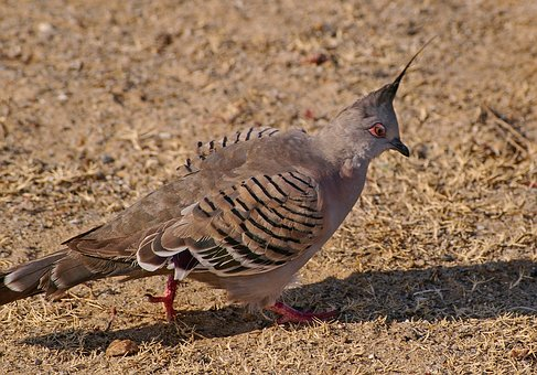 Crested Pigeon, Ocyphaps Lophotes, Bird, Brown, Striped