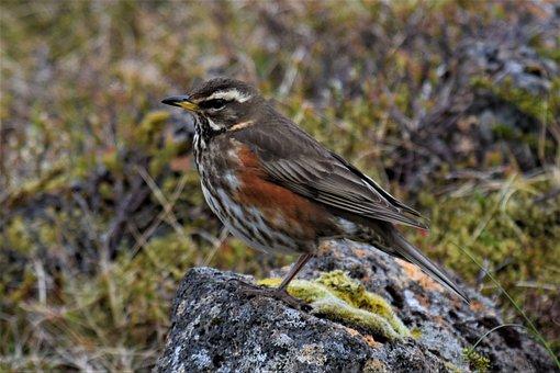 Turdus Iliacus, Thrush, Redwing, Wild Life, Bird