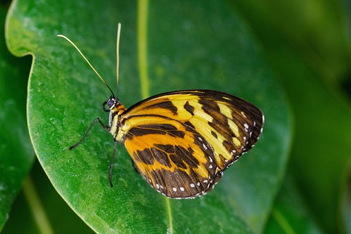 Note-passion Butterfly, Butterfly, Tithorea Harmonia