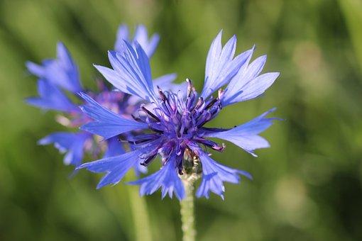 Cornflower, Centaurea Cyanus, Blue, Meadow, Macro