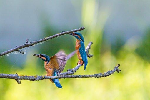 Kingfisher, Kingfishers, Pair, Bird, Colorful, Nature