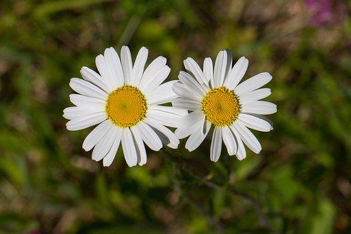 Marguerite, Flowers, Composites, Flower, White, Nature