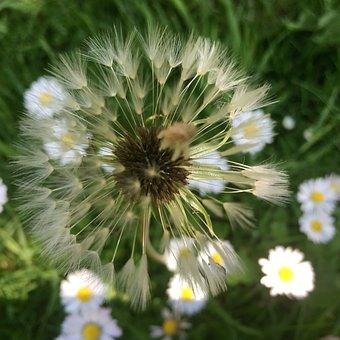 Dandelions, Flower, Grass, Blossom, Nature, Spring