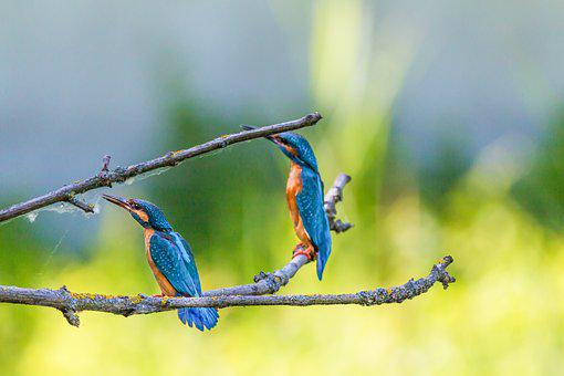 Kingfisher, Bird, Colorful, Nature, Plumage, Feather