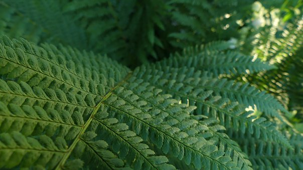 Fern, Plant, Nature, Leaves, Garden, Closeup, Bush