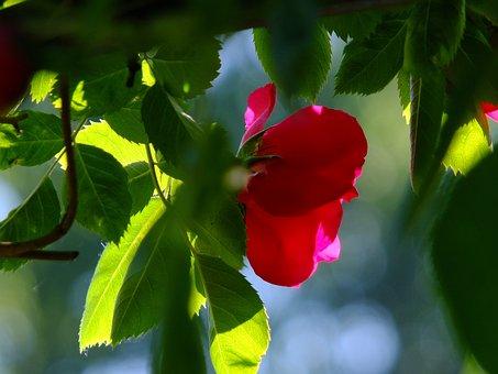 Rose, Wild Rose, Rosebush, Blossom, Bloom, Garden