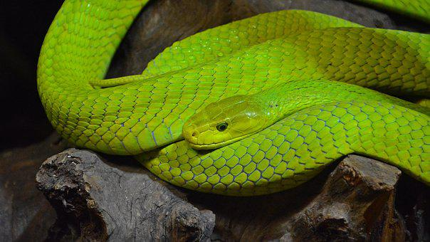 Green Mamba, Snake, Mamba, Reptile, Creature, Scale