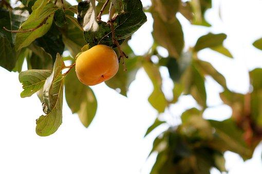 Persimmon, Fruit, Autumn, Harvest, Eggplant, Nature