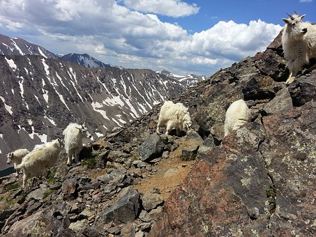 Mountain Goats, Goats, Mountain, Quandary Peak