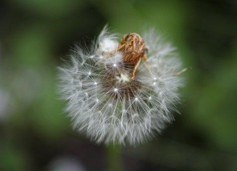 Dandelion, Flower, Nature, Flowers, Spring, Garden